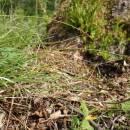 Ostřice stinná (<i>Carex umbrosa</i>), PP Bukovské rybníčky [JI], 29.5.2016, foto Libor Ekrt