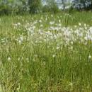 Suchopýrek alpský (<i>Trichophorum alpinum</i>), PR Rašeliniště Kaliště [JI], 18.6.2013, foto Libor Ekrt