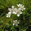 Tolije bahenní (<i>Parnassia palustris</i>), PR Na Oklice, 15.8.2014, foto Vojtěch Kodet