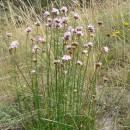 Trávnička obecná hadcová (<i>Armeria elongata subsp. serpentini</i>), NPR Mohelenská hadcová step [TR], 25.8.2005, foto Luděk Čech