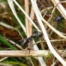 Mravenec rašelinný (<i>Formica picea</i>) vázaný u nás svým výskytem na rašeliniště patří k druhům ohroženým zánikem stanovišť, PR Na Oklice, foto Pavel Bezděčka.