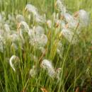 Suchopýrek alpský (<i>Trichophorum alpinum</i>), PR Rašeliniště Kaliště, 10.6.2015, foto Vojtěch Kodet