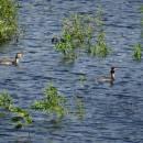 Potápka roháč (<i>Podiceps cristatus</i>), Váňovský rybník, 16.6.2016, foto Vojtěch Kodet