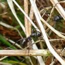 Mravenec rašelinný (<i>Formica picea</i>)