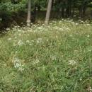 Smldník jelení (<i>Peucedanum cervaria</i>), Šemíkovice, Knížecí seč [TR], 14.8.2016, foto Libor Ekrt