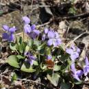 Violka písečná pravá (<i>Viola rupestris</i>), NPR Mohelenská hadcová step [TR], 14.4.2015, foto Libor Ekrt