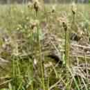 Ostřice šlahounovitá (<i>Carex chordorrhiza</i>), PR Rašeliniště Kaliště [JI], 15.6.2008, foto Libor Ekrt