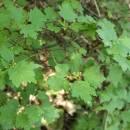 Rybíz alpínský (<i>Ribes alpinum</i>), Plešice, Staré Duby [TR], 12.5.2015, foto Libor Ekrt